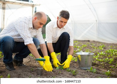 Farmers planting spinach in the greenhouse.