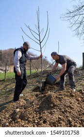 Farmers planting a walnut tree in the orchard