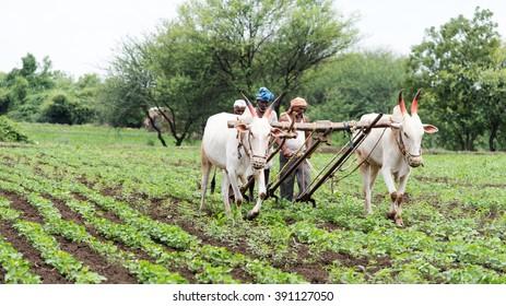 Farmers plugging in soybean field with bulls, rural village Salunkwadi, Ambajogai, Beed, Maharashtra, India