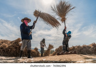 Farmers rice grain threshing during harvest time in northern Thailand