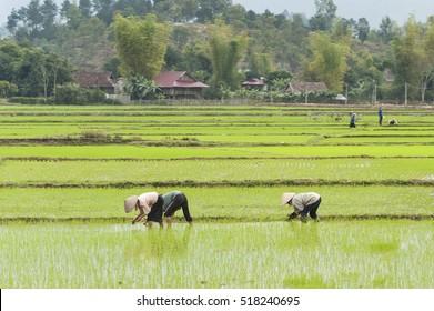 Farmers with rice growing activities in Dien Bien Phu, northern Vietnam