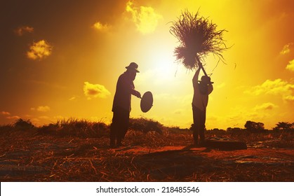 Farmers silhouettes at sunset. Rice grain threshing during harvest time in northern Thailand