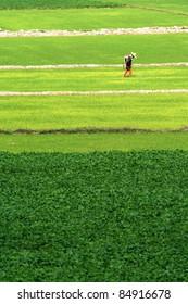 Farmers spray herbicides.