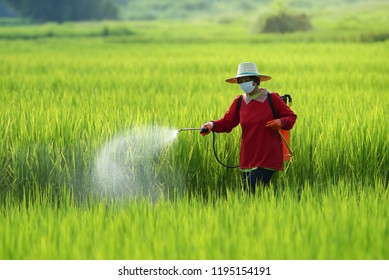 Farmers spraying pesticide in rice field wearing protective clothing,Farmer spraying pesticide to rice by insecticide sprayer with a proper protection in the paddy field.