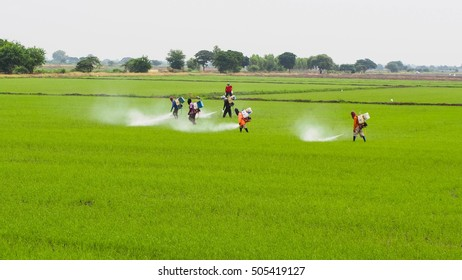 Farmers spraying pesticides or Chemical fertilizer  on rice field.