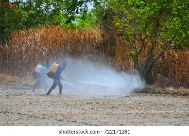 Farmers spraying  pesticides and herbicide in the rice field after planting, Team working