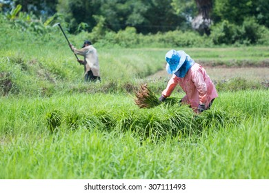 Farmers Start the planting of rice in the field of them.