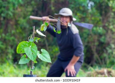 Farmers think cutting trees. Pulchellum, Roxb, Wall, APOCYNACEAE, ASCLEPIADOIDEAE