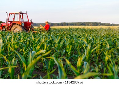 Farmers with tractor are cultivating field with young corn by dragging plow machine among rows.