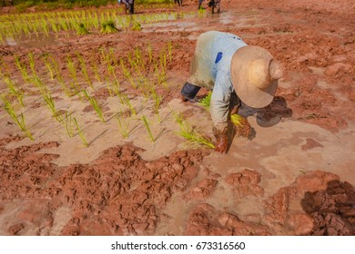Farmers with traditional farming practices using human and animal labor in the production process. They must cultivate Outdoor blackout during rainy  and harvest in winter to produce world rice.