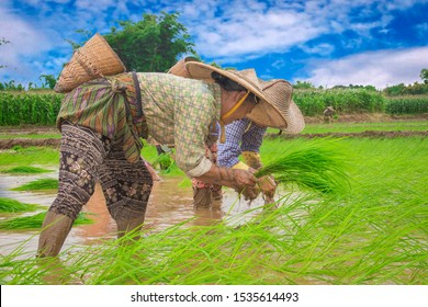 Farmers transplant rice in a field in Shan State, Myanmar on 9 August 2018