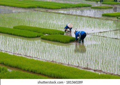 Farmers transplant rice in a field in Vietnam