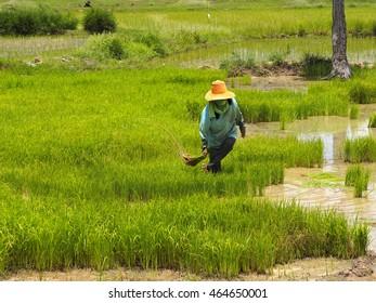 Farmers transplant rice seedlings in the paddy field