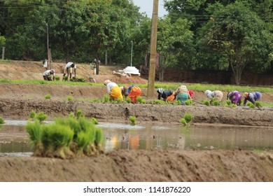 farmers   transplanted rice shoots they plant the new crop in the rice paddy in India