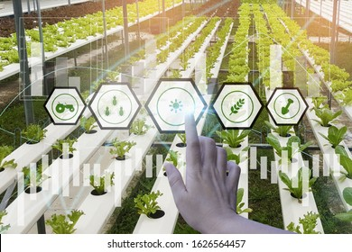 Farmers use hand touch interface icon Organic lettuce agriculture farm in house controlled by modern technology with wireless network,concept agricultural product control technology track productivity