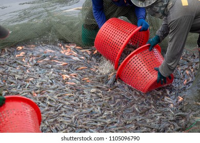 Farmers used trawl to catch white shrimp from ponds while some shrimp died. Before moving to size processing plant.