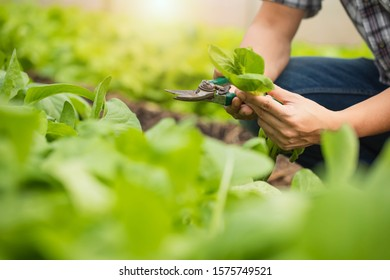 Farmers are walking around to see the growing vegetable gardens. Grow salad with Farmers in greenhouse pure eco frendly agriculture. Organic hydroponic vegetable cultivation farm.