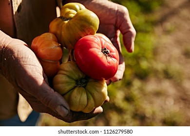farmers weathered hands holding ripe heirloom tomatoes