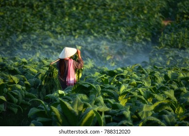 Farmers were growing tobacco in a converted tobacco growing in the country, thailand.Vietnam