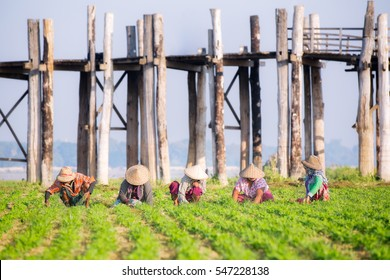 farmers at work around U-Bein Bridge, Amarapura, Mandalay, Myanmar, farm, agriculture, industrial concept