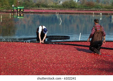 farmers working in cranberry bog