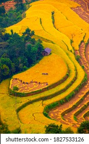 The farmers are working on golden terraced rice fields on harvest season, in Hoang Su Phi District (Ha Giang Province, Northeast Vietnam).
