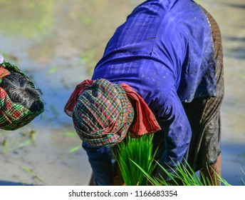 Farmers working on rice field in Can Tho, Vietnam. Rice production in the Mekong Delta is important to the food supply.