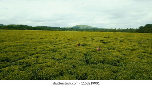 Farmers working on tea fields in malawi africa