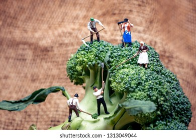 Farmers working on top of giant broccoli.