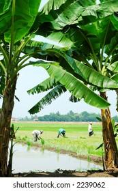 Farmers working in paddy field