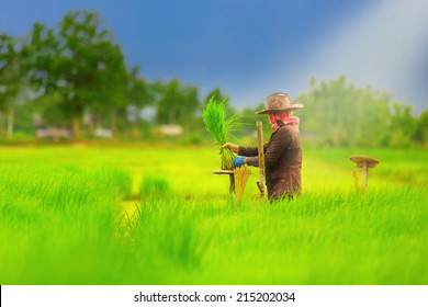 Farmers working planting rice in the paddy field