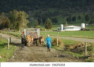 Farmhand in vehicle and a boy walking cows and newborn calves to the dairy, West Coast, New Zealand