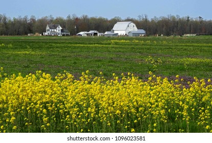 farmhouse on the eastern shore of maryland  on a sunny day in spring with  vivid yellow rocket wildflowers in the foreground