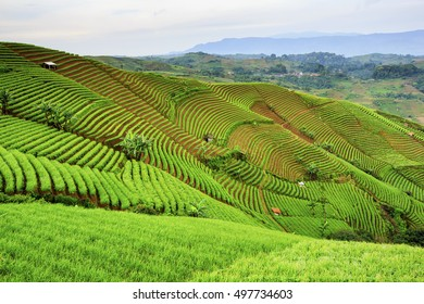 farmhouse in shallots plantations,,west java indonesia