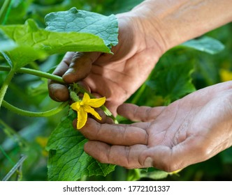 Farming concept. Man farmer checking blooming flowers of cucumbers in the garden