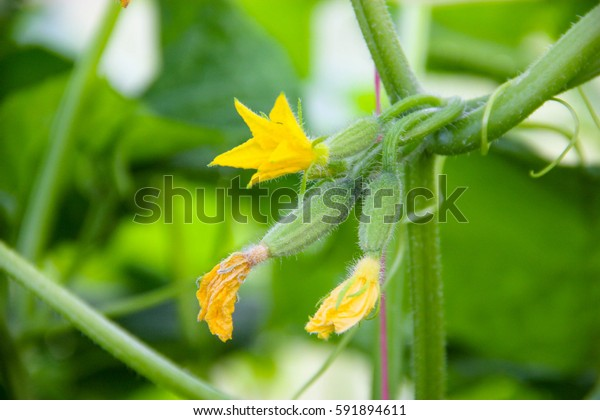 Farming concept. Young cucumber blooms on a branch, close-up