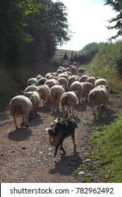 Farming. Flock of sheep heading to the new field grass. Blue border collie sheepdog behind. Ewes walk up the road to the open gate. Fresh start  at Springtime. Photo taken on a British farm.