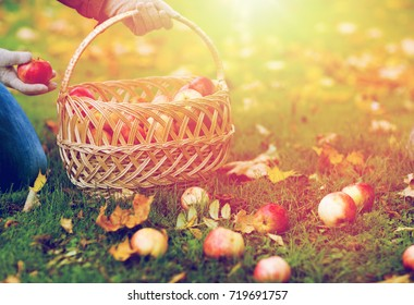 farming, gardening, harvesting and people concept - woman picking apples and putting them into wicker basket at autumn garden