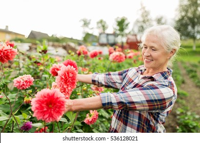 953bc48d farming, gardening and people concept - happy senior woman with flowers  blooming at summer garden