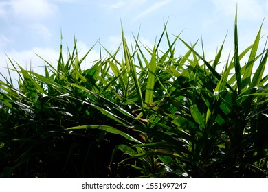Farming of ginger field crop rows plots