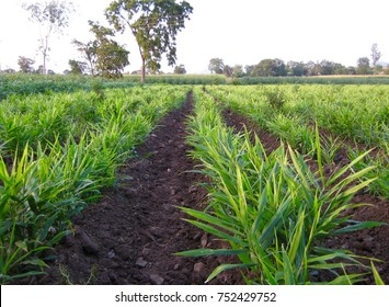 Farming of ginger field - lower view