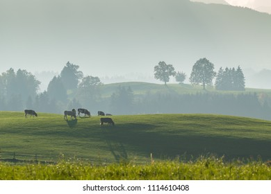 Farming landscape with cows on pasture, lush green grass on meadow