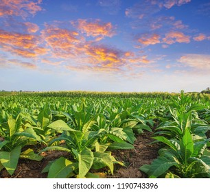 farming landscape picture of tobacco field in the morning sunrise