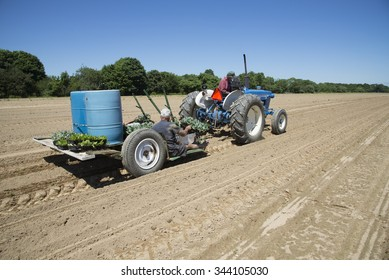 FARMING ON LONG ISLAND NEW YORK - JUNE 2015 - Planting seedlings from a tractor trailer on a farm in the North Fork area of Long island USA
