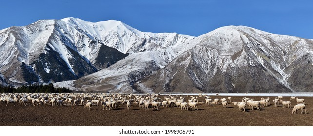 Farming - panoramic photo of Sheep grazing on root crop at Castle Hill, Winter, New Zealand