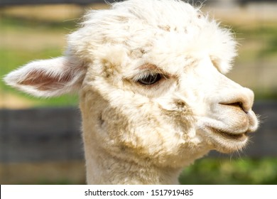 farming pet alpaca with amazing haircut