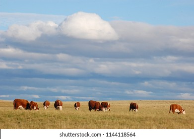 Farming Ranch Angus and Hereford Cattle