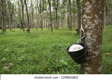 Farming for rubber -- rubber plantation in Langkawi, Malaysia