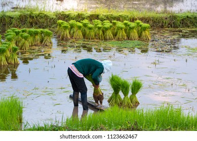 Farming season prepare rice fields.