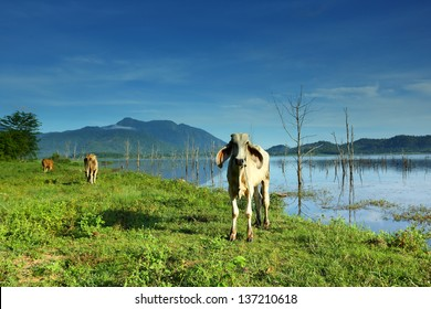 Farmland with canal and cows under cloudy sky in Thailand